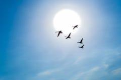 Schwäne, die in einen blauen Himmel vor dem hintergrund der Sonne fliegen Lizenzfreie Stockfotografie