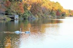 Schwäne, die entlang einem See schwimmen Lizenzfreies Stockbild