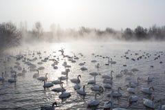 Schwäne, die im Nebel schwimmen lizenzfreies stockbild