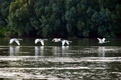 Schwäne, die niedrig über den Fluss fliegen Stockbilder