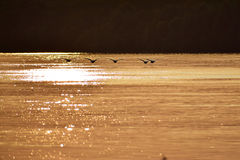 Schwäne, die niedrig über den Fluss fliegen Lizenzfreies Stockfoto