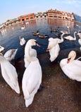 Schwäne durch die Themse, Windsor Lizenzfreies Stockfoto