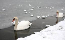 Schwäne in einem gefrorenen See Lizenzfreie Stockfotos