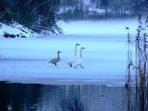 Schwäne in einem Norweigan Winter Lizenzfreies Stockfoto