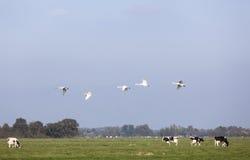 Schwäne fliegen über grüne Wiese mit Schwarzweiss-Kühen in Holland Lizenzfreie Stockfotografie