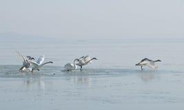 Schwäne fliegen über See Stockfotografie