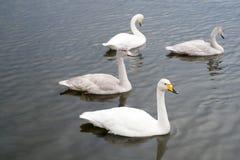 Schwäne herrlich auf grauer Wasseroberfläche Natürliche Umwelt der Tiere Wasservögel mit der Nachkommenschaft, die auf Teich schw stockbilder