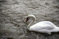 Schwäne im Fluss lizenzfreies stockfoto