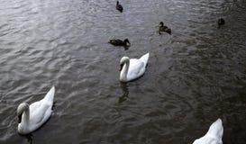 Schwäne im Fluss lizenzfreie stockbilder