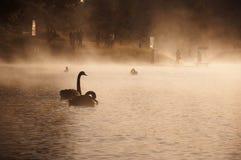 Schwäne im Nebel Lizenzfreies Stockfoto