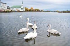Schwäne im Teich in Reykjavik Island Schwäne herrlich auf grauer Wasseroberfläche Natürliche Umwelt der Tiere Wasservögel mit lizenzfreies stockfoto