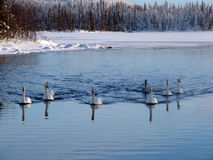 Schwäne im Winter lizenzfreies stockfoto