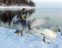 Schwäne im Winter Stockfotografie