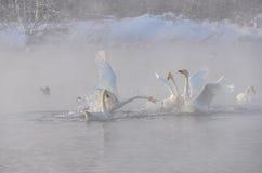 Schwäne kämpfen auf dem See ein kalten nebelhaften Wintermorgen (Cygnus Cygn Lizenzfreies Stockfoto