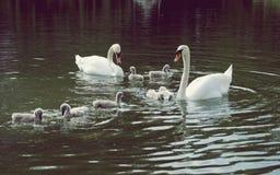 Schwäne mit Babys auf See Stockfoto