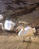 Schwäne nr der Fluss Tweed, Berwick nach Tweed, Northumberland Großbritannien Lizenzfreie Stockbilder