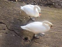 Schwäne nr der Fluss Tweed, Berwick nach Tweed, Northumberland Großbritannien Lizenzfreie Stockfotografie