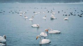 Schwäne schwimmen auf einem See oder einem Fluss im Winter snowing Werden fertig, weg zu fliegen stock video footage