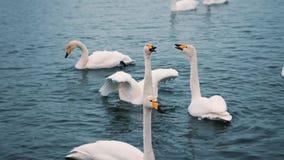 Schwäne schwimmen auf einem See oder einem Fluss im Winter snowing Werden fertig, weg zu fliegen stock footage