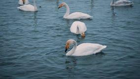 Schwäne schwimmen auf einem See oder einem Fluss im Winter snowing Werden fertig, weg zu fliegen stock video