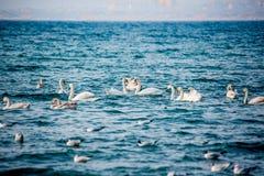 Schwäne und andere Wasservögel auf dem Meer Stockbild