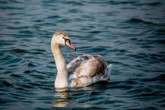 Schwäne und andere Wasservögel auf dem Meer Lizenzfreie Stockbilder