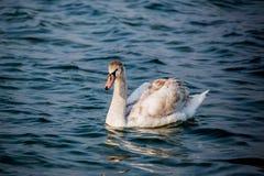 Schwäne und andere Wasservögel auf dem Meer lizenzfreies stockfoto