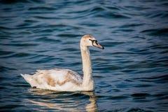 Schwäne und andere Wasservögel auf dem Meer Lizenzfreie Stockfotografie