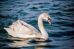 Schwäne und andere Wasservögel auf dem Meer stockbilder