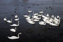 Schwäne und Enten lizenzfreies stockfoto