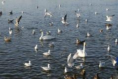 Schwäne und Enten Stockfotografie