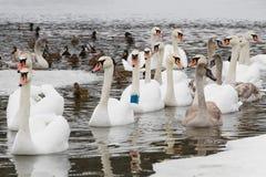 Schwäne und Enten auf dem Fluss Stockfoto