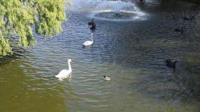 Schwäne und Enten auf dem See stock video footage