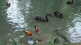 Schwäne und Enten auf dem Wasser stock video