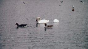 Schwäne und Gänse, die im See schwimmen stock video