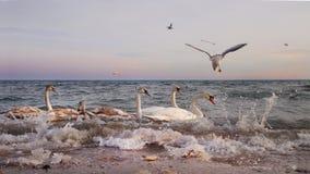 Schwäne und Möven im Meer bei Sonnenuntergang lizenzfreie stockbilder