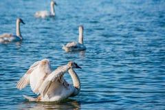 Schwäne und Seemöwen auf dem Meer stockfoto