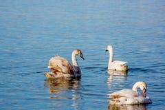 Schwäne und Seemöwen auf dem Meer lizenzfreies stockfoto