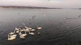 Schwäne und Seemöwen bei der Donau in Zemun Lizenzfreie Stockbilder