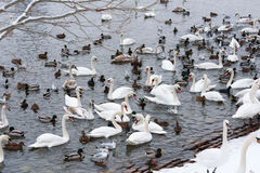 Schwäne und Seemöwen in die Moldau-Fluss in Prag im Winter stockfoto