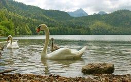 Schwäne von Alpsee See Stockfotos