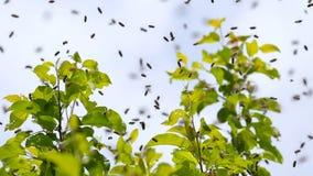 Schwärmen der Bienen Bienen fliegen und sitzen auf dem Apfelbaum stock video