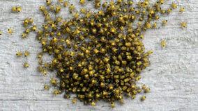 Schwärmende Babyspinnen stock video