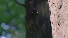 Schwärmende Mücken-Insekten-Fliegen im Frühjahr züchten stock footage