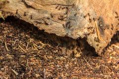 Schwärmendes rotes Ameisennest auf Anmeldungswald Lizenzfreies Stockfoto