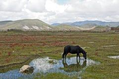 Schwärzen Sie das Pferd, das in der Wiese weiden lässt Lizenzfreie Stockbilder
