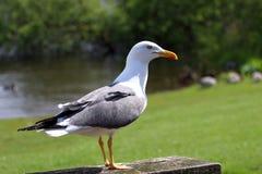 Schwärzen Sie den unterstützten Vogel, der mit grünem lsandscape Hintergrund steht Stockfotografie