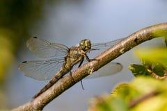 Schwärzen Sie die angebundene Abstreicheisen-Libelle, die auf einer Niederlassung gehockt wird Stockfotografie