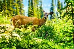 Schwärzen Sie die angebundenen Rotwild, die BC auf Tod Mountain in Kanada gehen lizenzfreies stockbild