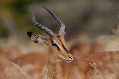 Schwärzen Sie gegenübergestellte Impala, etosha nationalpark, Namibia, Aepyceros melampus petersi Lizenzfreie Stockfotos